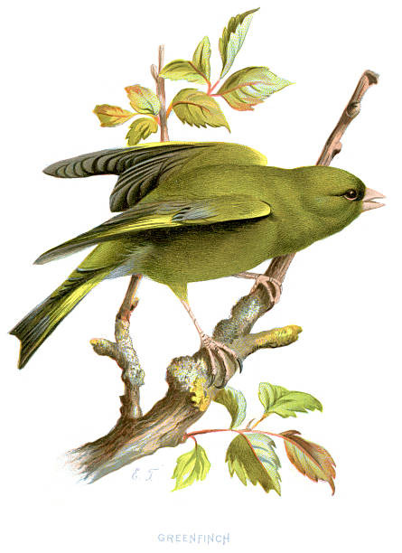 Greenfinch - Carduelis chloris Vintage lithograph from 1883 of a Greenfinch (Carduelis chloris), a small passerine bird in the finch family Fringillidae. finch stock illustrations