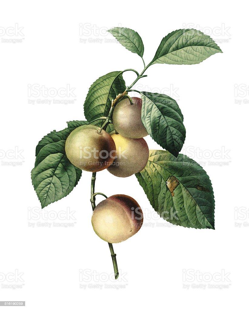 Greengage   Redoute Botanical Illustrations vector art illustration