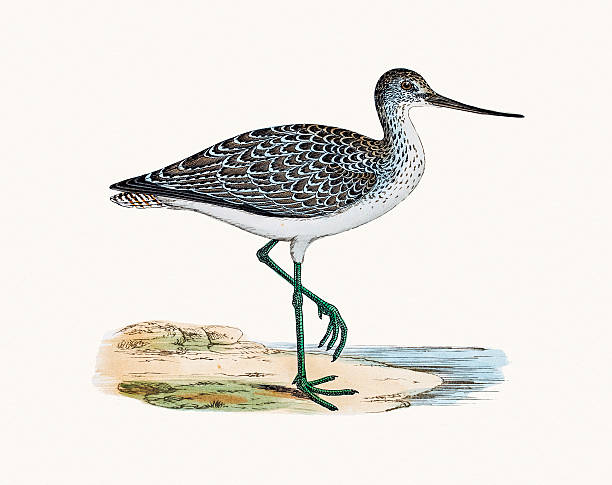 greenshank - 도요과 stock illustrations