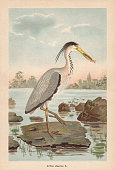 Grey heron (Ardea cinerea). Chromolithograph, published in 1896.