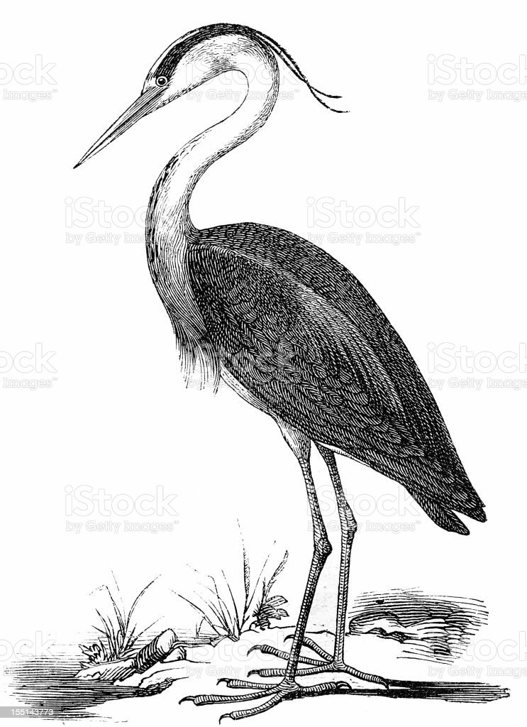 Grey Heron (Ardea Cinerea) vector art illustration