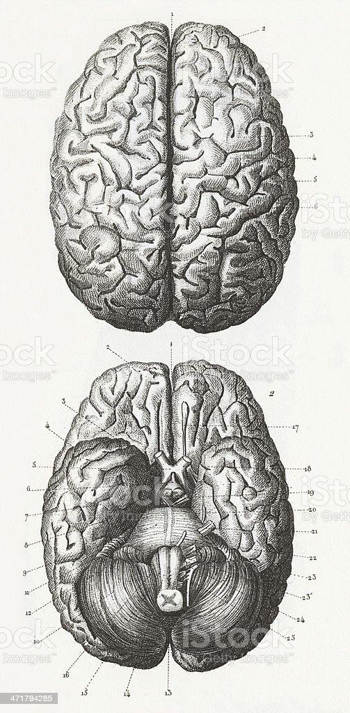 Grey Sketch Diagram Of Outside And Inside Of Human Brain Stock
