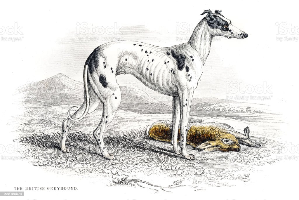 Greyhound engraving 1840 vector art illustration