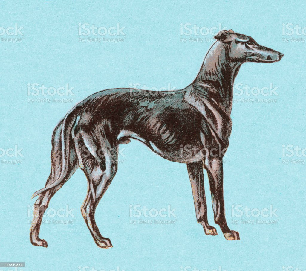 Greyhound vector art illustration