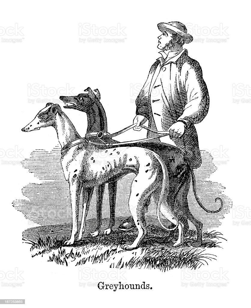 Greyhounds vector art illustration
