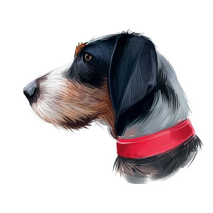 Griffon Bleu de Gascogne dog digital art illustration isolated on white background. France origin medium-sized scenthund hunting dog. Pet hand drawn portrait. Graphic clip art design for web, print.