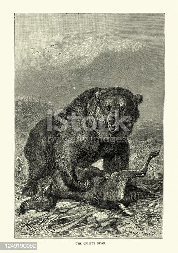 Vintage illustration of Grizzly bear and its prey a deer. The grizzly bear (Ursus arctos horribilis), also known as the North American brown bear or simply grizzly