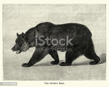 Vintage engraving of  Grizzly bear (Ursus arctos ssp.), 19th Century.