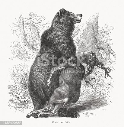 Grizzly bear (Ursus arctos horribilis). Wood engraving after a drawing by Robert Kretschmer (German painter, 1818 - 1872), published in 1897.