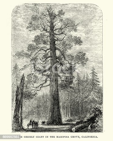 Vintage engraving of the Grizzly Giant a giant sequoia in Mariposa Grove, 19th Century