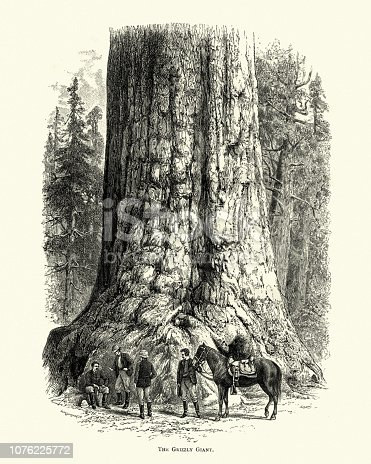 Vintage engraving of Grizzly Giant is a giant sequoia in Mariposa Grove, located in Yosemite National Park. 19th Century