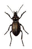 Illustration of a Ground beetle (Carabus hortensis)
