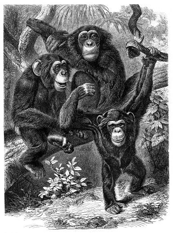 Group of Chimpanzee in rainforest illustration 1876