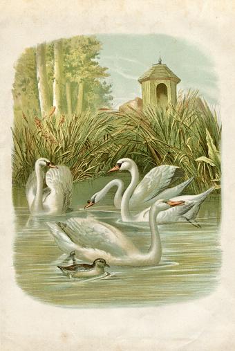 Group Of Swans On Lake Illustration 1881 Stock Illustration - Download Image Now