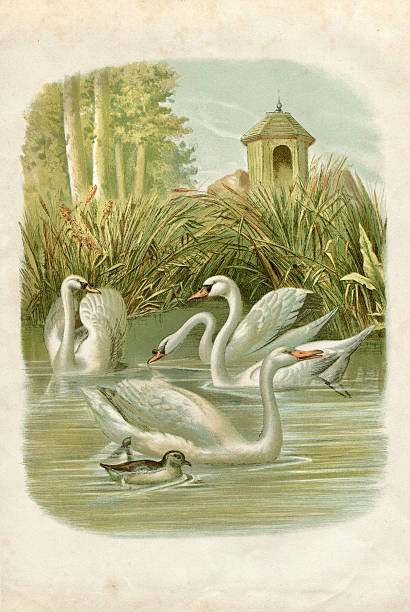 Group of swans on lake illustration 1881 Steel engraving swans on lake water bird stock illustrations