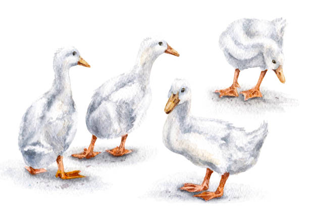 Group of White Ducks Hand drawn group of white domestic ducks. Poltry watercolor sketch. duckling stock illustrations