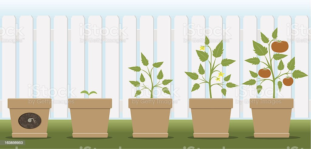 Growing Tomatoes vector art illustration