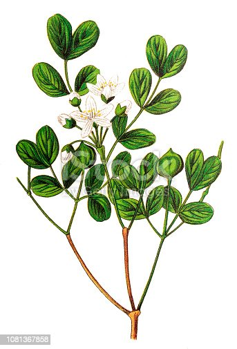 Illustration of a Guaiacum officinale, commonly known as roughbark lignum-vitae, guaiacwood or gaïacwood