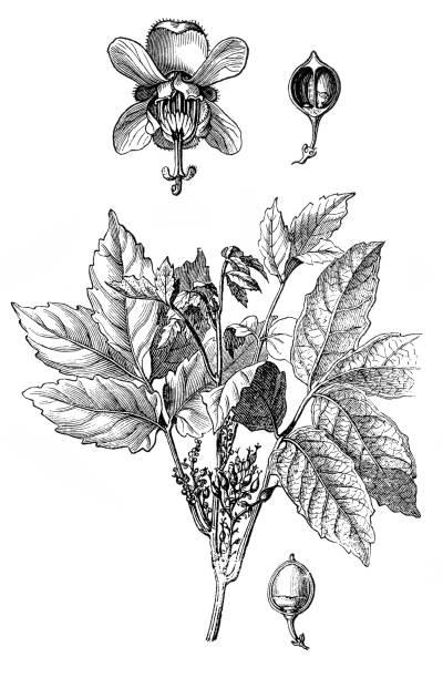 ガラナ(Paullinia cupana ) ベクターアートイラスト