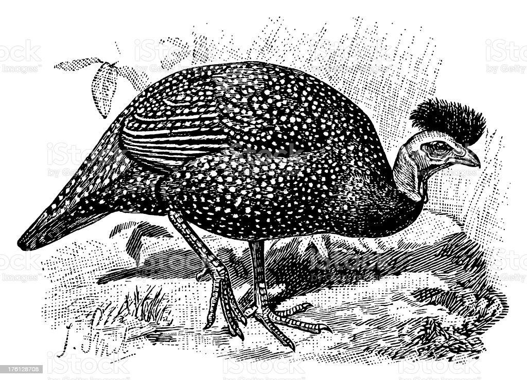 Guinea Fowl Antique Bird Illustrations Stock Illustration