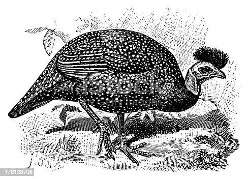 19th-century engraving of a guinea fowl (isolated on white). Published in Systematischer Bilder-Atlas zum Conversations-Lexikon, Ikonographische Encyklopaedie der Wissenschaften und Kuenste (Brockhaus, Leipzig) in 1844.