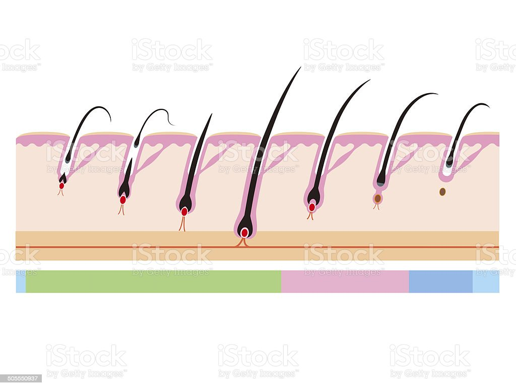Hair cycle. Life of hair vector art illustration
