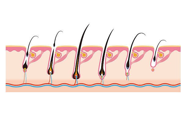hair follicle diagram clip art royalty free hair follicle clip art, vector images ... #7