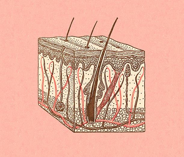 Hair Growing Out of Skin Hair Growing Out of Skin biomedical illustration stock illustrations