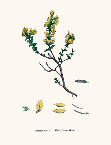 Hairy gree weed plant 19th century illustration