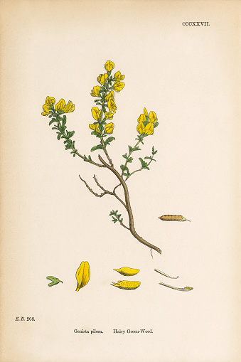 Hairy Green-Weed, Genista Pilosa, Victorian Botanical Illustration, 1863