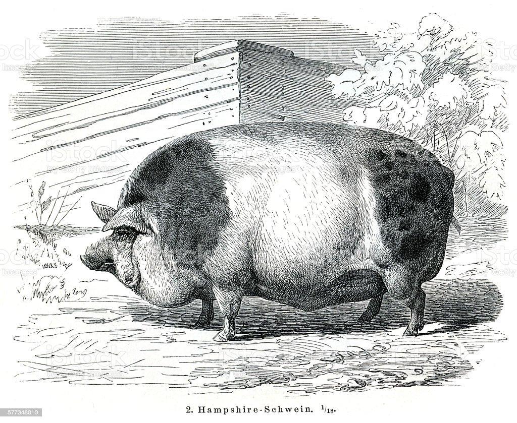 Hampshire Pigs engraving 1895 vector art illustration