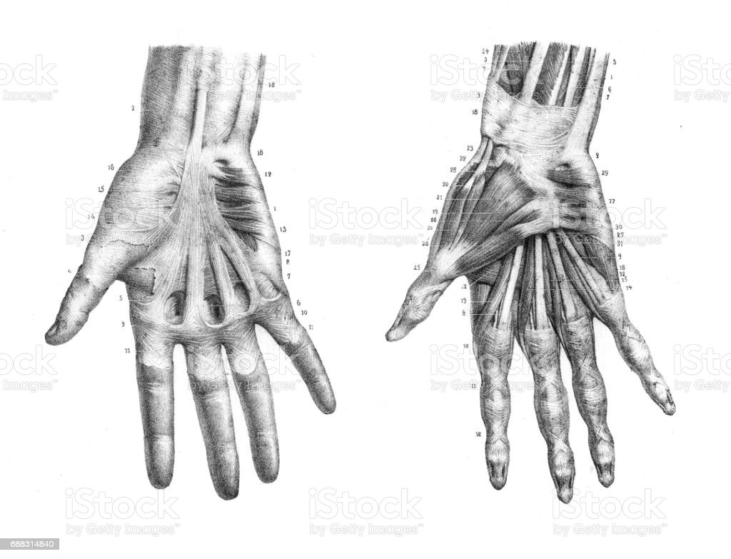 Hand anatomy engraving 1866 vector art illustration