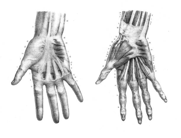 Hand anatomy engraving 1866 vector art illustration