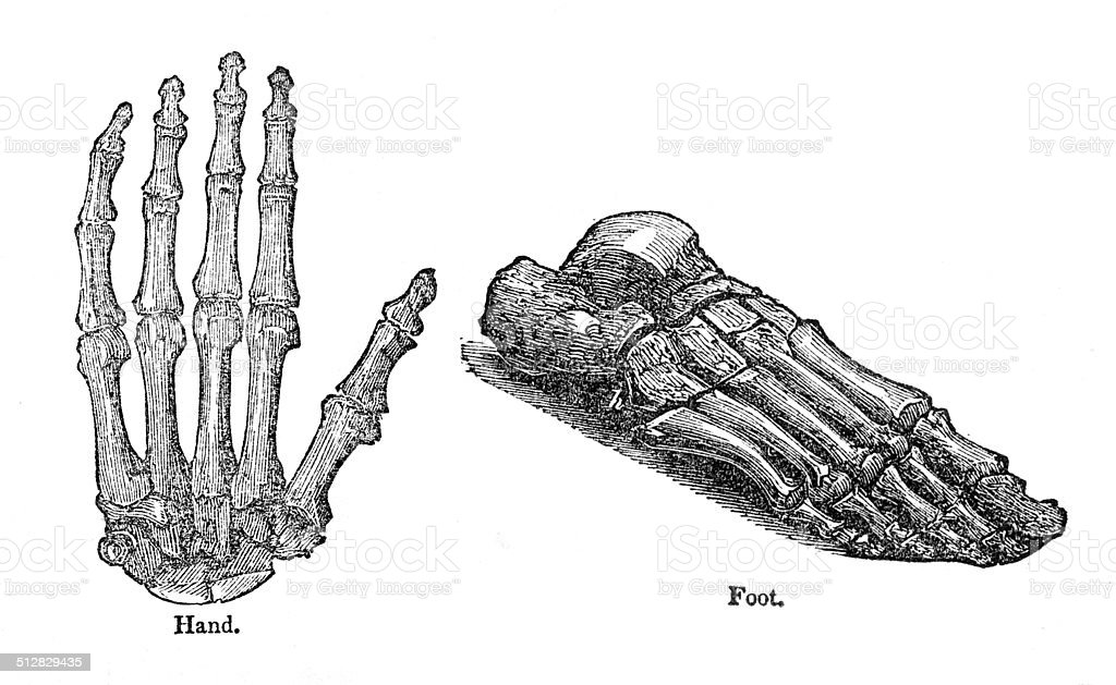 Hand And Foot Anatomy Drawing Stock Vector Art & More Images of ...