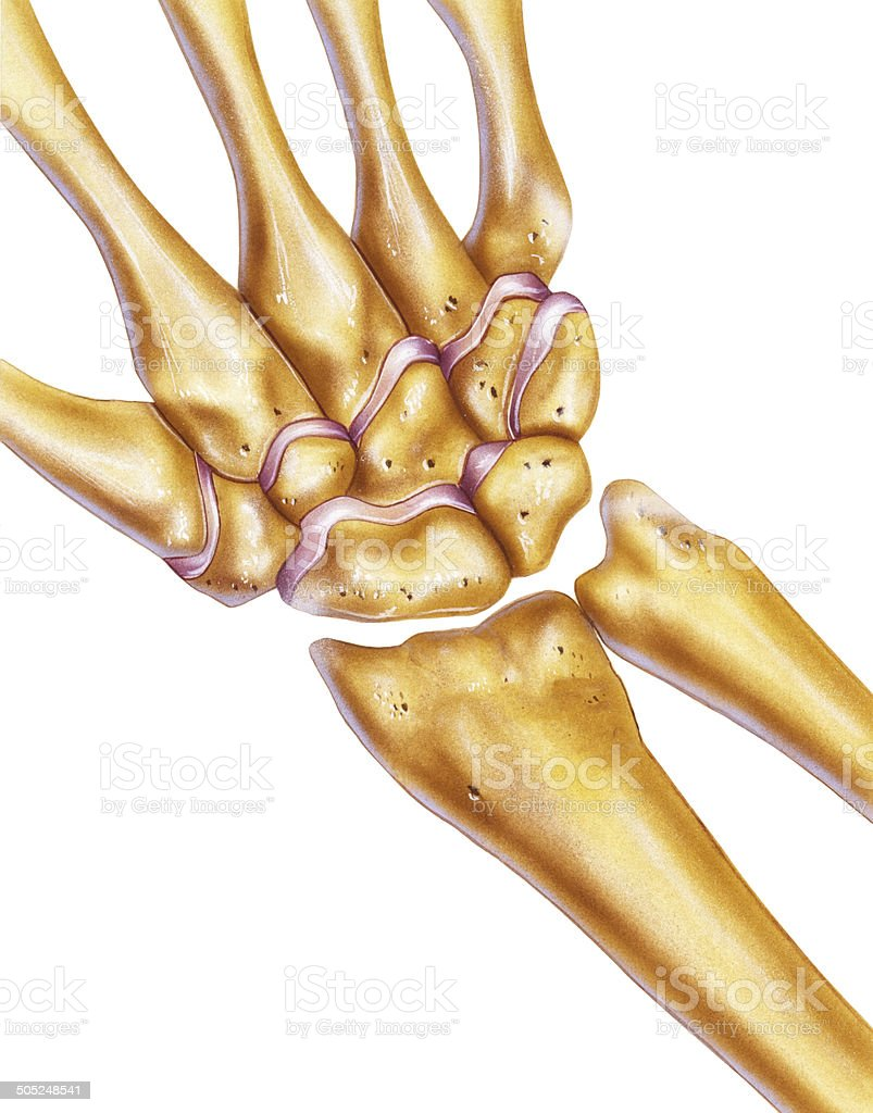 Handknochen Und Gelenke Handgelenk Stock Vektor Art und mehr Bilder ...
