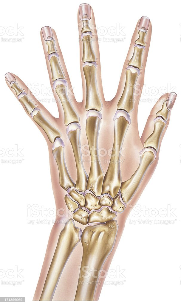 Hand Bones And Joints Stock Vector Art & More Images of Anatomy ...