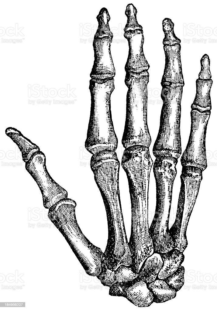 Handknochen Stock Vektor Art und mehr Bilder von 19. Jahrhundert ...