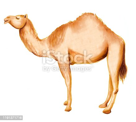 Hand drawing arabic dromedary camel. Raster illustration on white background.