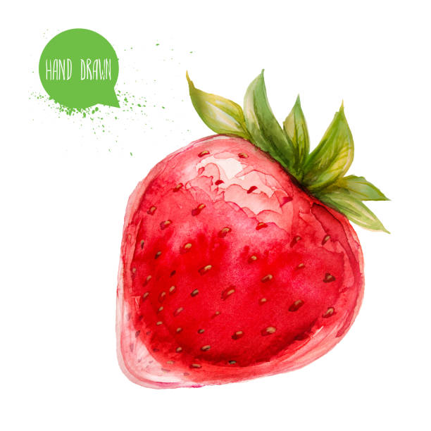 Hand drawn and painted watercolor ripe ctrawberry. Isolated on white background. Berries and fruit illustration. vector art illustration