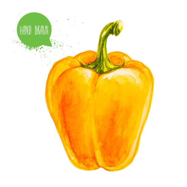 ilustrações de stock, clip art, desenhos animados e ícones de hand drawn and painted watercolor ripe yellow bell pepper. capsicum isolated on white background. vegetable illustration. - red bell pepper isolated
