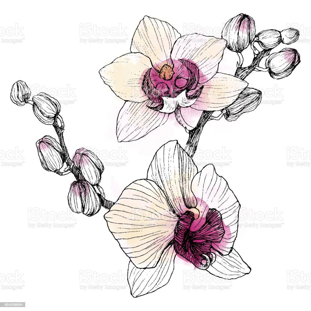 Orchidée Du Main Contour Dessiné En Noir Sur Fond Blanc