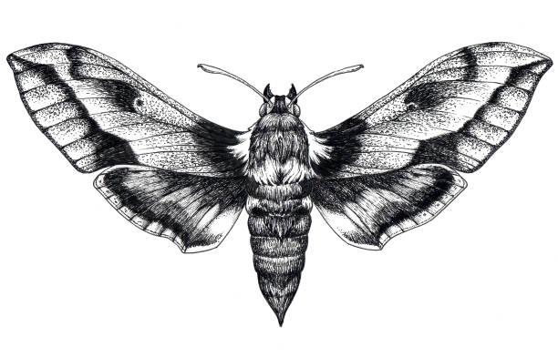 Hand drawn butterfly tattoo. Dotwork tattoo. Hummingbird hawk moth. Macroglossum stellatarum. Lepidoptera. vector art illustration