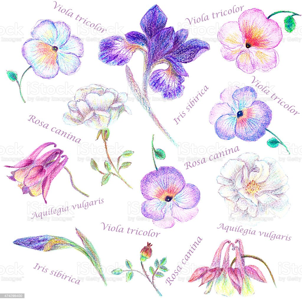 Hand Drawn Garden Flower Set With Latin Names Stock Vector Art