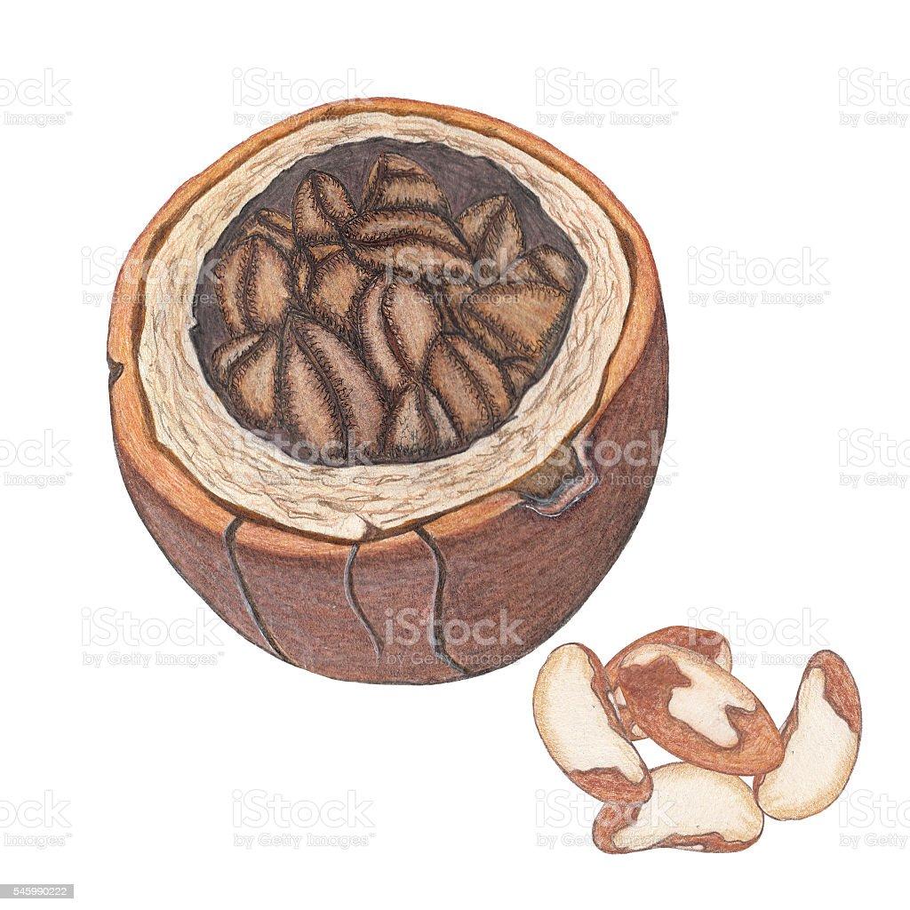 Hand drawn illustration of brazil nuts vector art illustration