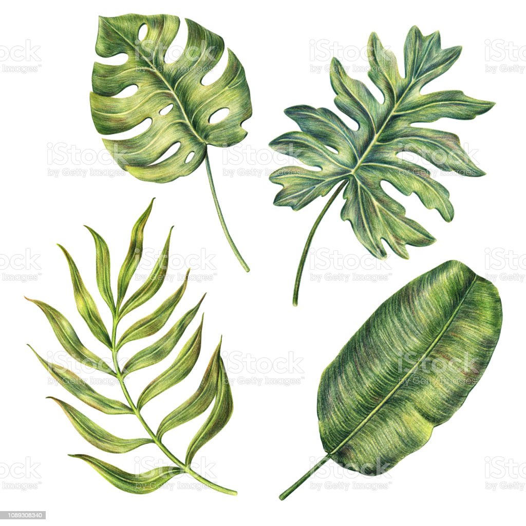 Hand Drawn Monstera Banana And Areca Palm Leaves Stock Illustration Download Image Now Istock .leaves for living room,palm leaves,artificial plant monstera leaves,artificial green leaves from decorative flowers real touch artificial green leaves monstera leaf for decoration. hand drawn monstera banana and areca palm leaves stock illustration download image now istock