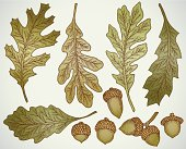 Hand drawn oak leaf and acorn vector set
