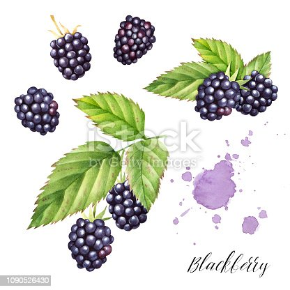 Hand drawn  set  of blackberries with leaves. Isolated watercolor berry illustration.