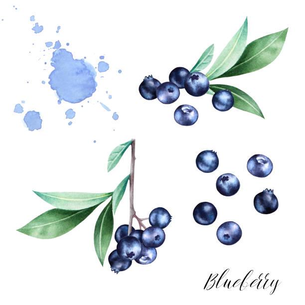 illustrazioni stock, clip art, cartoni animati e icone di tendenza di hand drawn  set  of blueberries with leaves. - mirtilli