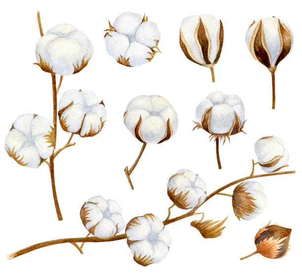 hand drawn set of cotton branches. 100 eco. cotton flower buds in vintage engraved style. botanical art isolated on white background. use for print, poster, decoration and other design. - cotton stock illustrations, clip art, cartoons, & icons