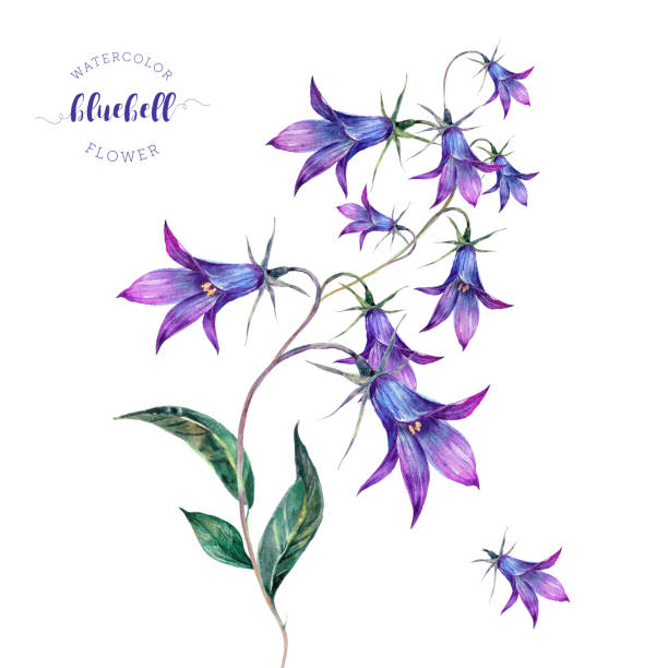 Hand Drawn Watercolor Bluebell Flower Vector Art Illustration
